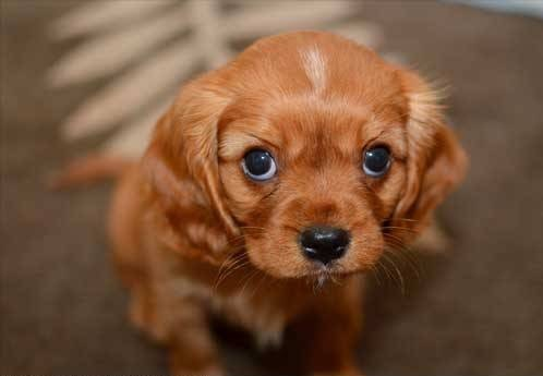 92783-dogs-cute-puppy-png